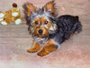 Watercolor of a Silky Terrier Puppy.