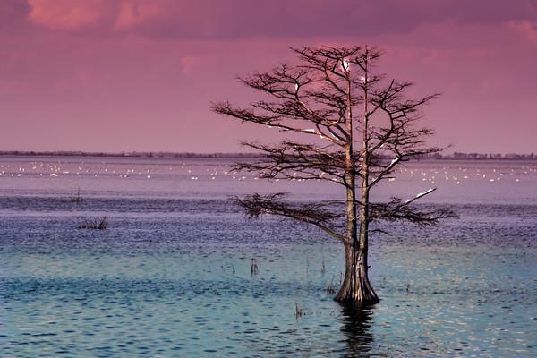Cypress Purple Sky