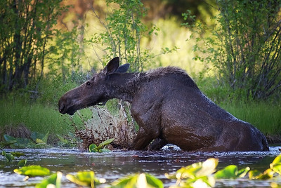 Moose getting out of mud