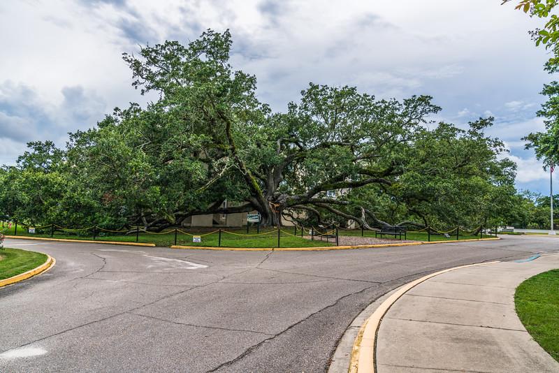 The Friendship Oak
