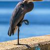 """Great Blue Heron"" - Broadwater Marina, Biloxi, MS"