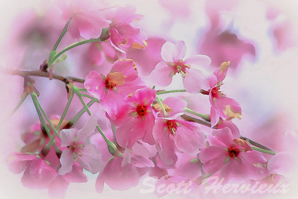 Pink Blossoms - Watercolor Rendering