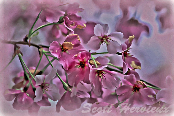 Pink Blossoms - Paint Rendering