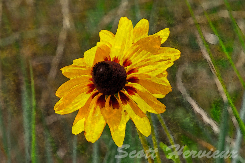 Black Eyed Susan - Textured Water Color