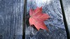 Early Autumn Maple Leaf