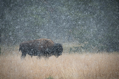 Bison in a Snow Globe