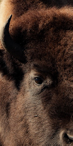 Up Close Bison