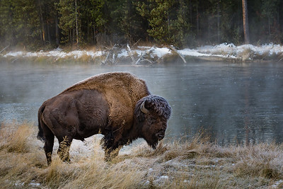 Bison on the Madison