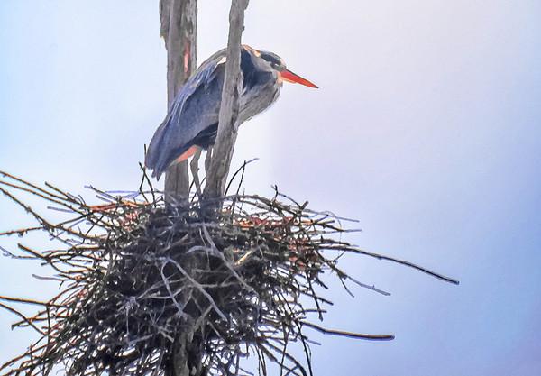 Nesting Heron