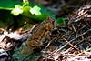 American Toad (Bufo Americanus)