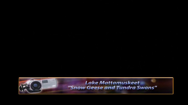 Snow Geese and Tundra Swans at Lake Mattamuskeet