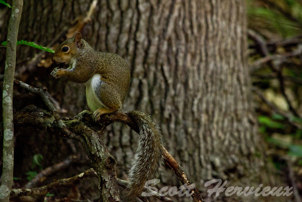 Eastern Gray Squirrel (Sciurus carolinensis) <br /> *Note - In the Southeastern US, they take on a reddish or brownish color
