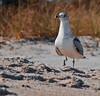 """""""Poised Seagull"""""""