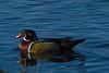 Adult Male Wood Duck (Aix sponsa)