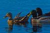Mallards (Anas platyrhynchos)