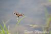 Halloween Pennant Dragonfly (Celithemis eponina)