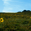 Facing the Sun~ Colorado Wildflowers on Trail Ridge Road, Rocky Mountain National Park