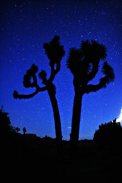 Speckled Sky~<br /> <br /> Joshua tree under blue, star-filled desert sky.  <br /> Joshua Tree National Park