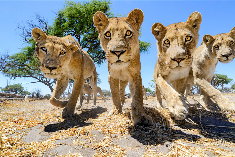Close up shots of wild lions taken with a remote controlled camera buggy in Botswana. Nikon D800E with 18-35mm lens.