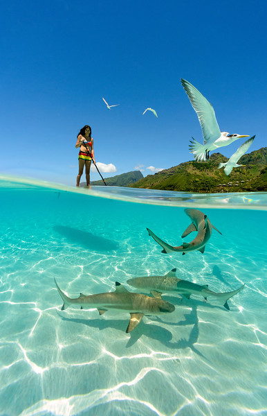 SUP with reef sharks in the crystal clear waters of Moorea, French Polynesia