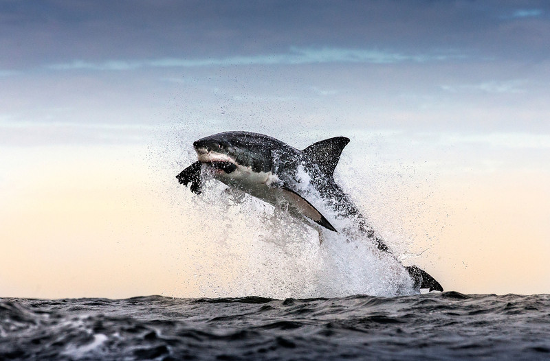 Great white shark breaches whilst attacking seal decoy used in shark research. Seal Island, False Bay, South Africa.