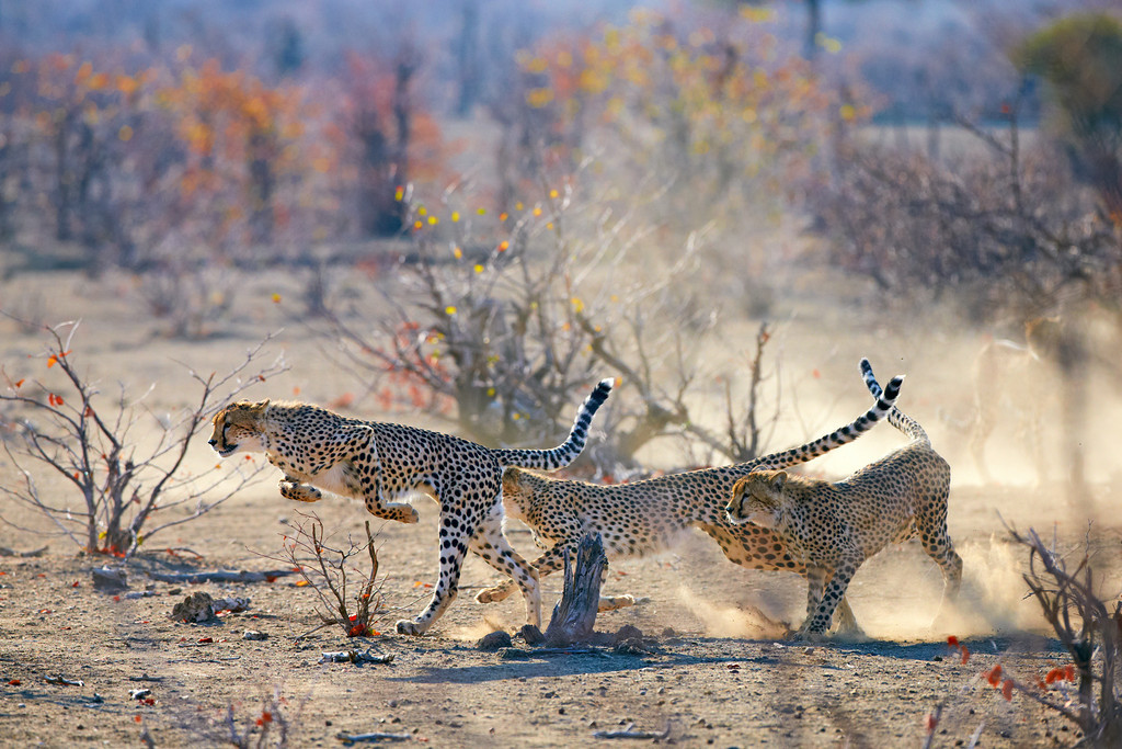 Cheetahs running in the African wilderness, 3 cubs with the mother watching.