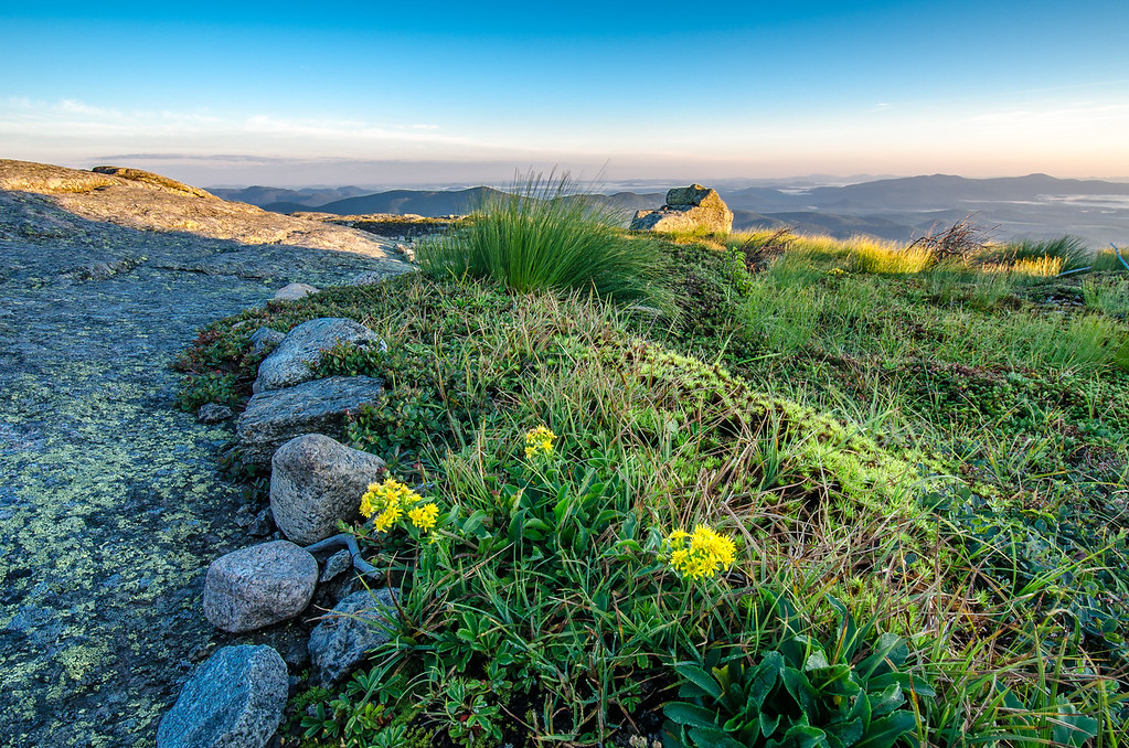 Alpine Goldenrod on Wright Peak