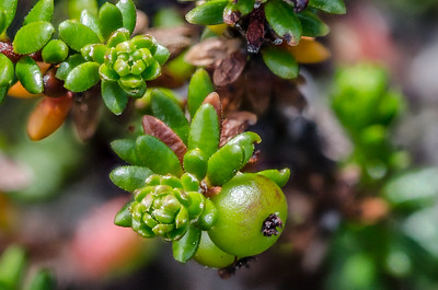Black Crowberry Fruit