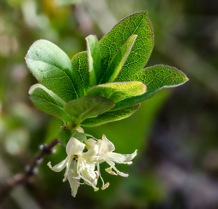 Mountain Honeysuckle