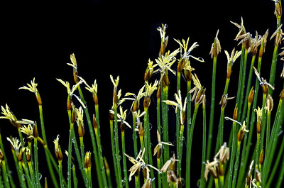 Deer's Hair Sedge