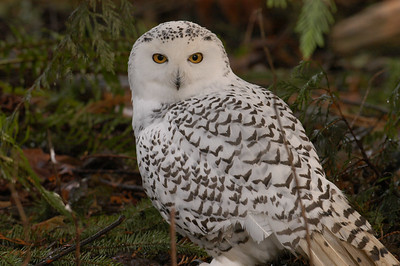 February - Snowy Owl