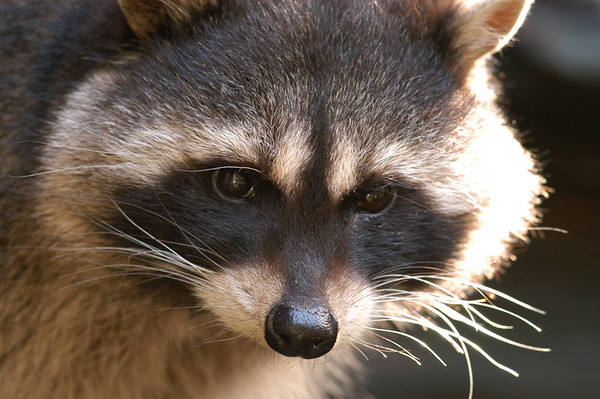 August - Raccoon