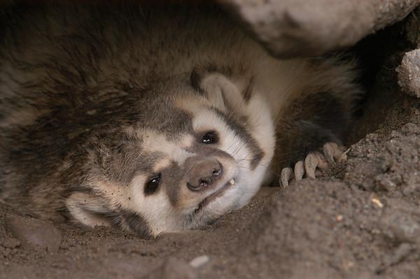 May - Badger