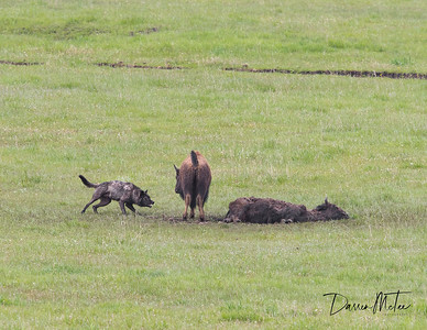 """A yearling Bison calf defends its deceased mother from a Junction Butte wolf. See more of this event  in the """"Image Series"""" section."""