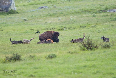 Amazing the calf survived this moment. Two wolves at its throat. Mama bison is swinging around quickly to knock them off.