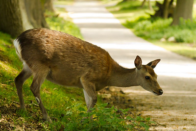 Roe deer crossing a road