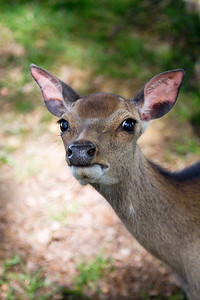 Young deer staring