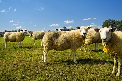 6398504 - a flock of sheep standing in a field waiting