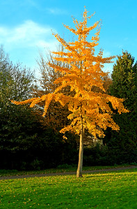 Single golden colored autumn tree in the park