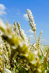 Single stem of wheat in a field