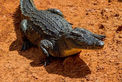 Wild aligator waiting