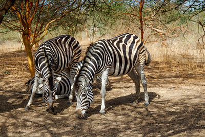 Black & white zebras