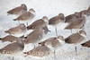 Group of Willets Resting