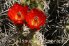Bright Red Flowers blooming on Barrel Cactus