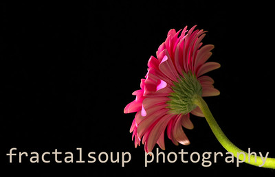 Gerbera Daisy Profile on Black
