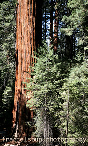 Giant Sequoia towers over evergreens