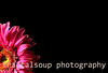Single Gerbera Flower Isolated Lower Left Corner on Black
