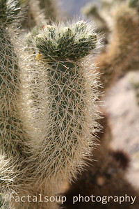 Cactus covered with numerous sharp needles