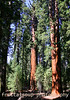 Two Sequoias in National Forest