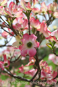 Assorted Pink Dogwood Blooms